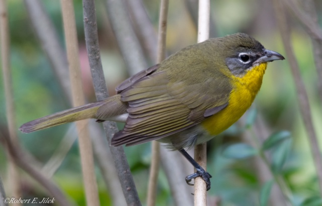 Yellow-breasted Chat - PO Square